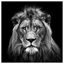 Young Male Lion Canvas Wall Art