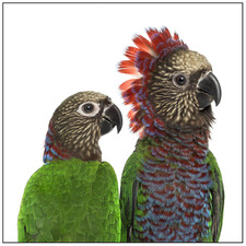 Red Fan Parrot Couple Printed Wall Art