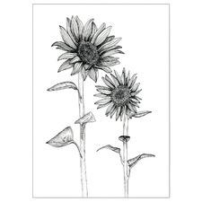 White Sunflowers Unframed Paper Print