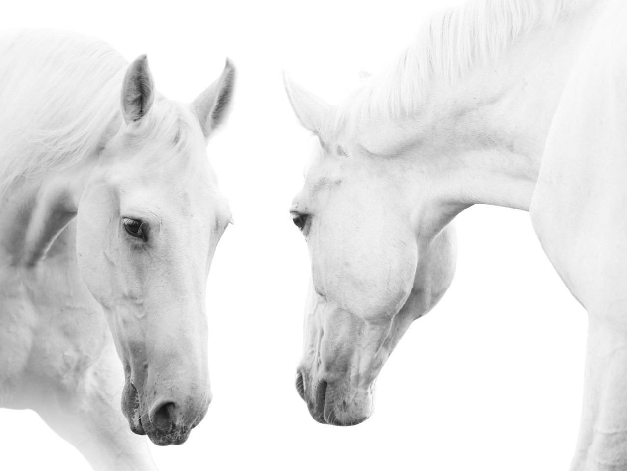 Sku alam1222 white horse pair artwork is also sometimes listed under the following manufacturer numbers bz25 horses pair